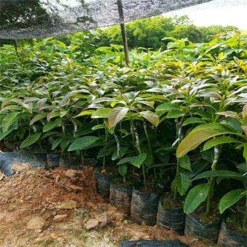 南京牛油果苗