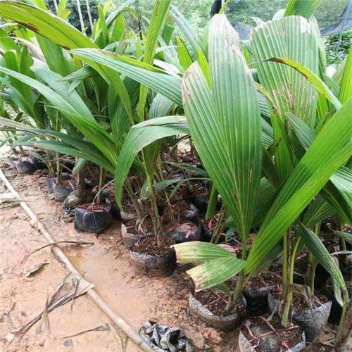 南京红椰子苗