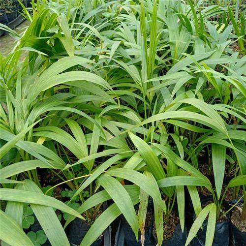 江苏红椰子苗