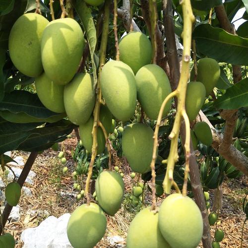 贵州台农芒果苗