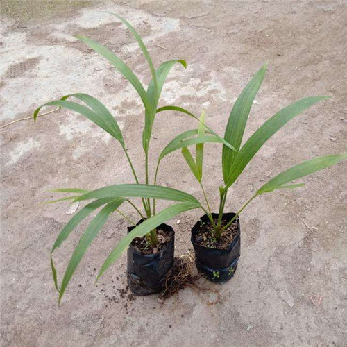 南京香水椰子苗