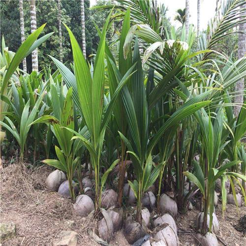 三亚青椰子苗