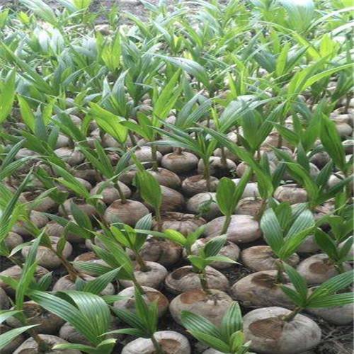 广西金椰子苗