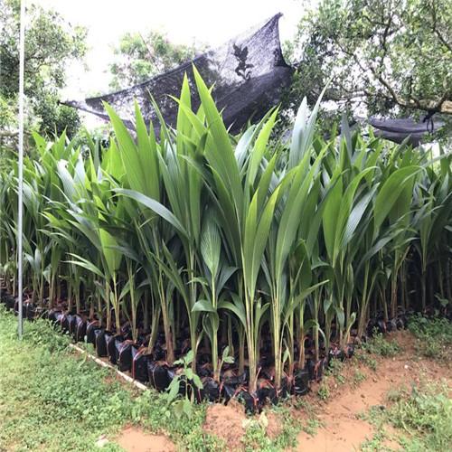 南京金椰子苗