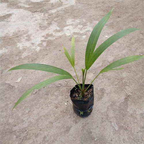 江苏金椰子苗