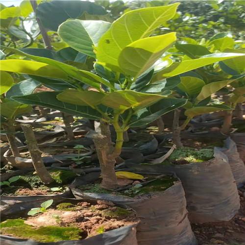 马来西亚一号菠萝蜜苗