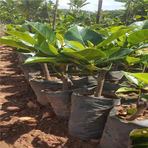 广东泰国红肉菠萝蜜苗
