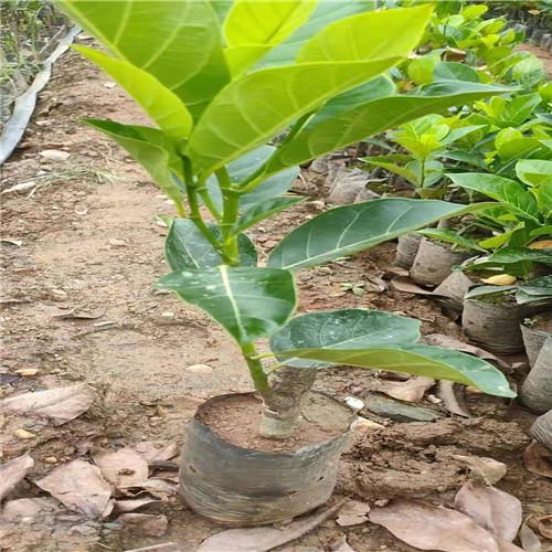 广西泰国红肉菠萝蜜苗