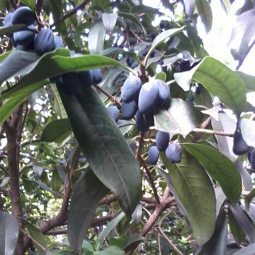 三亚橄榄苗