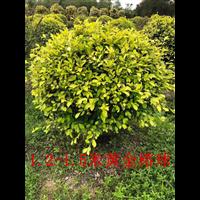1.2-1.5米黃金榕球批發