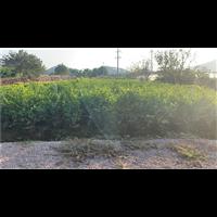 广西茉莉花种植基地