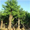 廣東臘腸樹-優質臘腸樹-佛山臘腸樹供應