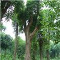 供應香樟樹|廣東香樟樹|廣東佛山香樟樹