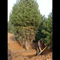 4米白皮松价格和树种的质量级别有关系