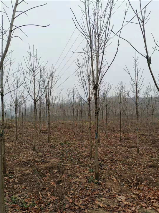 河南七叶树