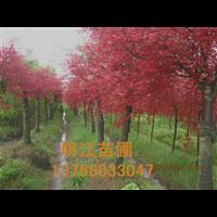 广西红枫桂林红枫全州红枫