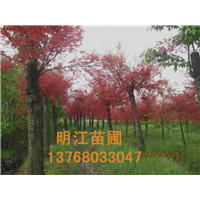 桂林绿化苗木广西红枫