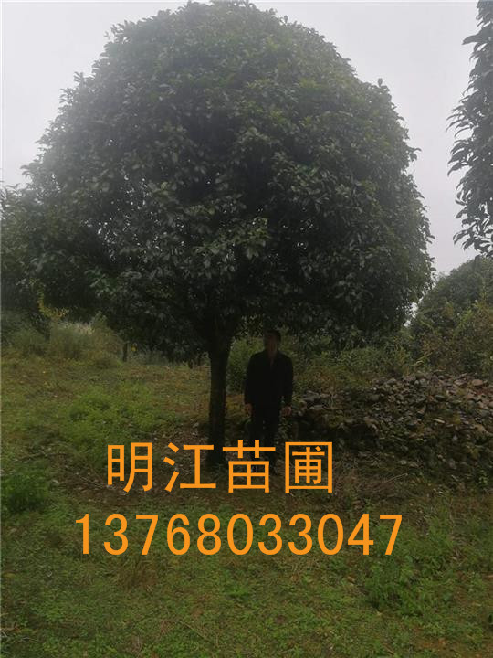 广西桂花网 广西桂花树批发 桂花树最新价格