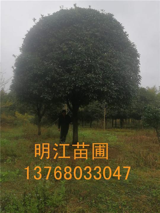 广西桂花树/桂林绿化苗木苗木/桂花种苗