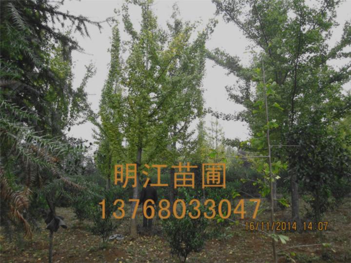 广西银杏树批发*广西银杏树种植网
