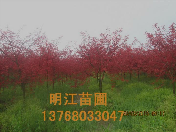 广西红枫种植技术