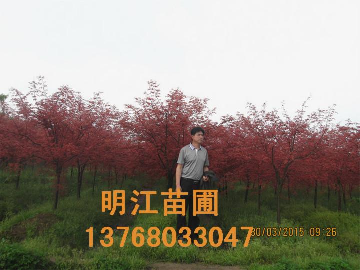 广西红枫种苗