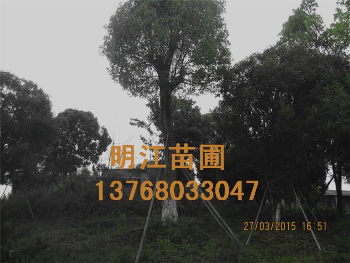 广西香樟广西香樟绿化苗木
