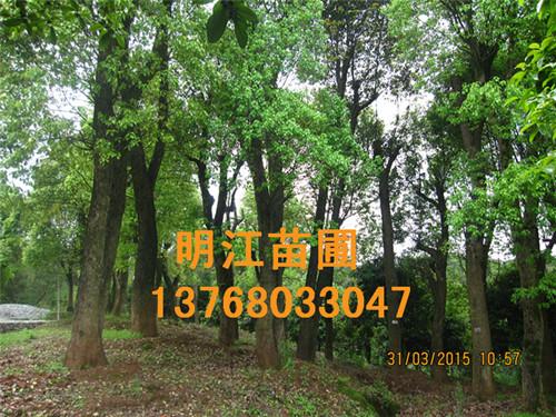 广西香樟网