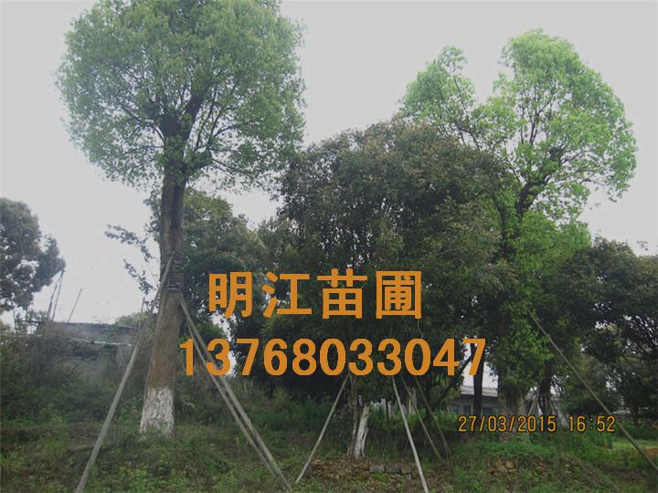 广西香樟价格