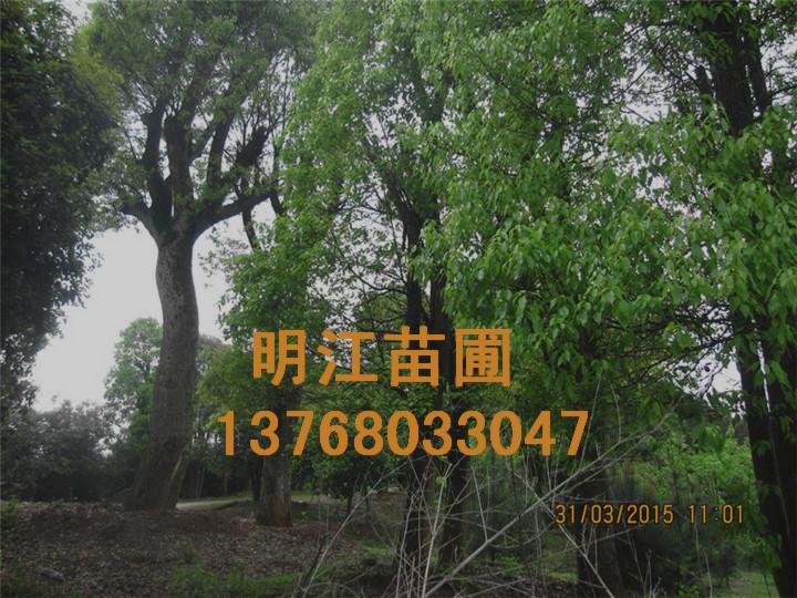 广西香樟最老树龄