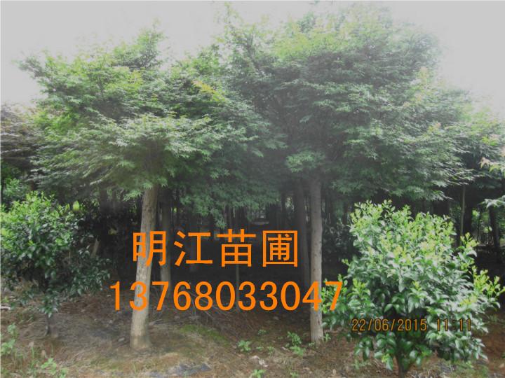 广西秋枫树/广西红枫
