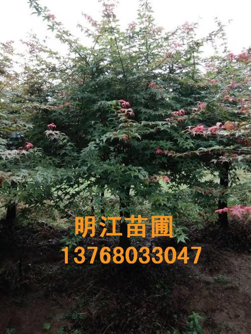 广西红枫树销售电话