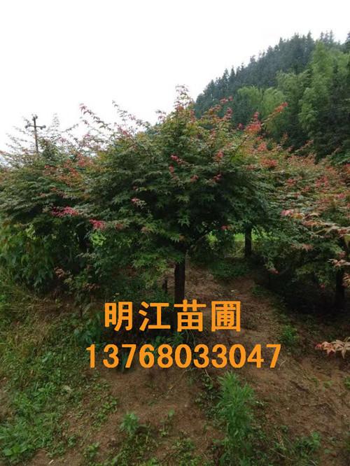 广西红枫树服务热线
