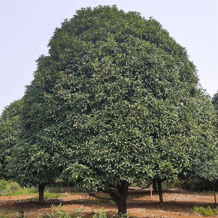 8公分广西桂花树 产地优惠供应广西桂花树