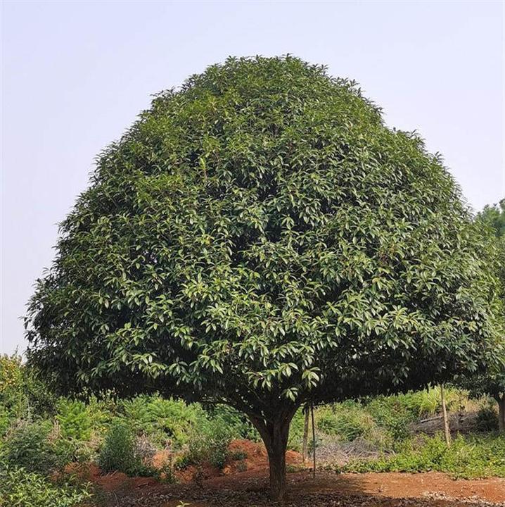 10公分广西桂花树 优质桂花树成活率高