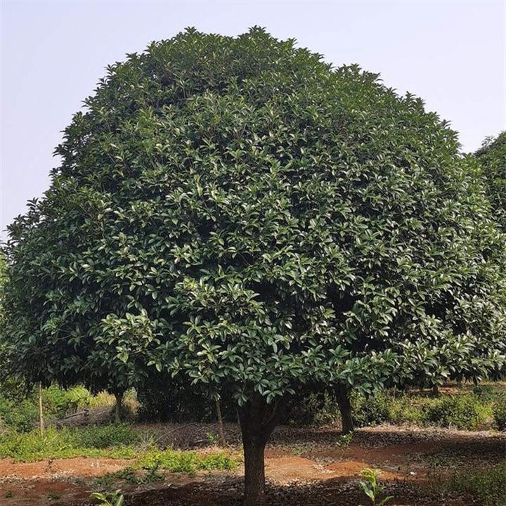 产地直供15公分广西桂花树 价格优惠成活率高