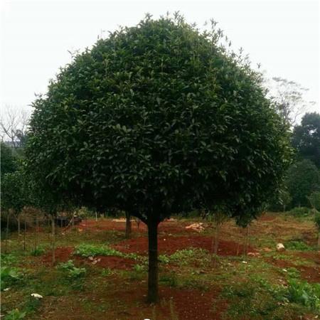 25公分广西桂花树 野生桂花树 数量有限